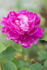 Ein wunderbarer Duft im Garten mit Rosen