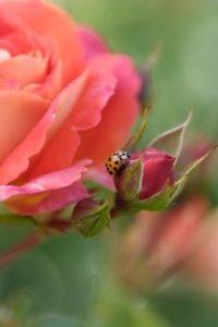 Rosen tragen zur Biodiversität in öffentlichen Grünanlagen bei