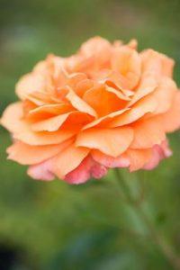 Gestalten Sie Ihren eigenen Rosengarten, und genießen Sie den Duft und die Farben in vollen Zügen
