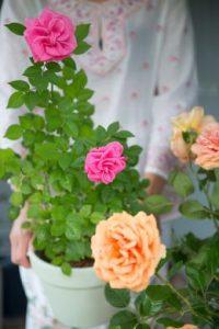 Gartenrose als Geschenk