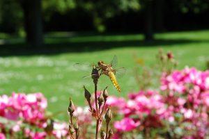 Rosen fördern die Biodiversität