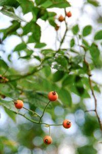 Hagebutten geben Farbimpulse für Herbstgärten